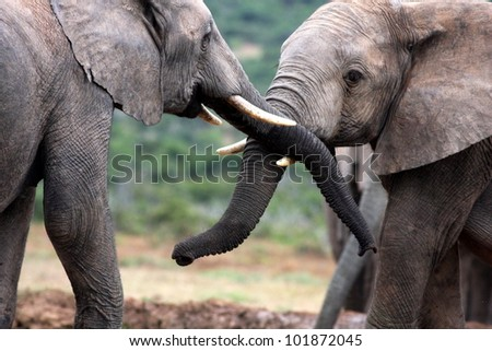 Two elephants trunk wresling and playing together in this photo from Addo National Elephant park,South Africa - stock photo