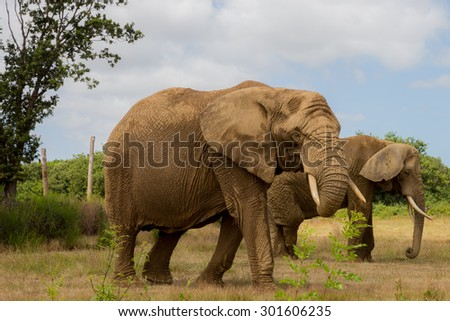 Two elephants walk in a natural park - stock photo