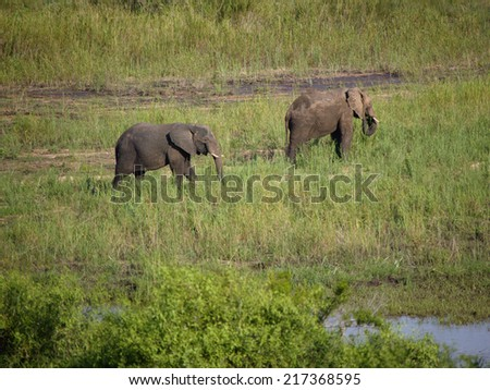 Two elephants walking, Kruger National Park, South Africa - stock photo