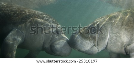 Two endangered Florida Manatee (Trichechus manatus latirostrus) nose to nose as the sun shines down on them in the springs of Crystal River, Florida - stock photo