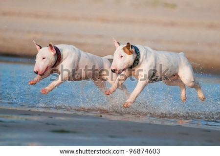 two english bull terrier dogs running - stock photo