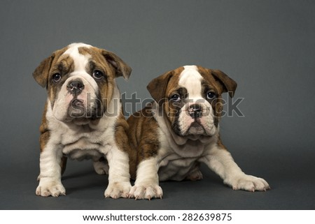 Two English Bulldog dogs over gray background. - stock photo