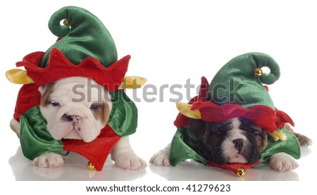 two english bulldog puppies dressed up as santa elves - stock photo