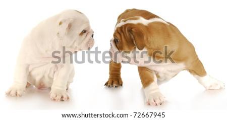 two english bulldog puppies interacting on white background - stock photo
