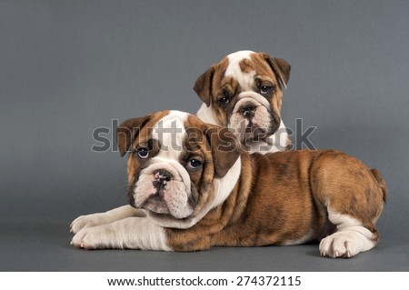 Two  English  bulldog puppies on gray background. - stock photo