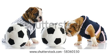two english bulldog puppies playing soccer with reflection on white background - stock photo