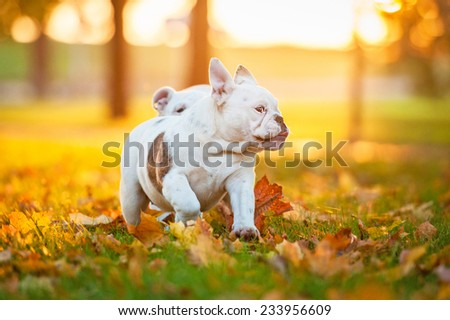 Two english bulldog puppies running in the park in autumn - stock photo