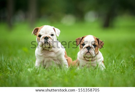 Two english bulldog puppies sitting in the park - stock photo