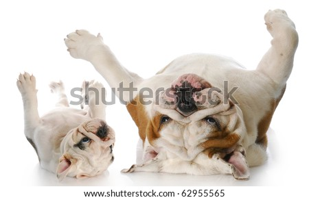 two english bulldog rolling on backs with reflection on white background - stock photo