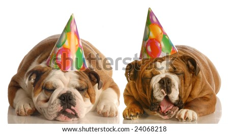 two english bulldog wearing birthday hats complaining about the situation