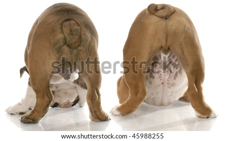 two english bulldogs bent over sniffing the ground viewed from the backside - stock photo