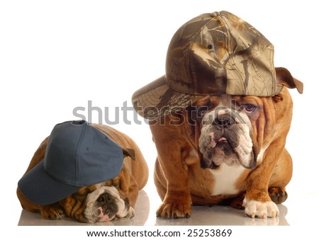 two english bulldogs dressed up with baseball caps - stock photo