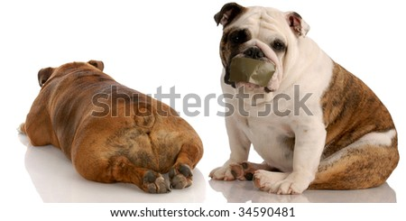 two english bulldogs having a funny dog fight