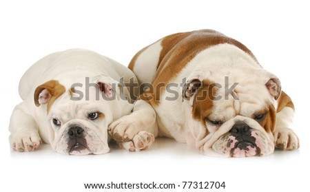 two english bulldogs laying down - one comforting the other - stock photo