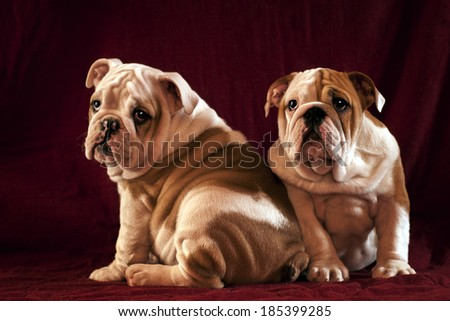 Two English Bulldogs, 3 months old over red background. - stock photo