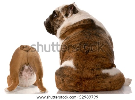 two english bulldogs sitting with back to viewer with reflection on white background - stock photo