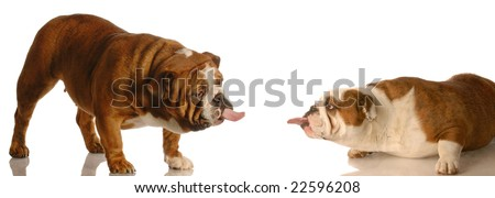 two english bulldogs sticking tongues out at each other - dog fight - stock photo