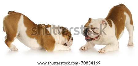 two english bulldogs with bums up playing with reflection on white background - stock photo