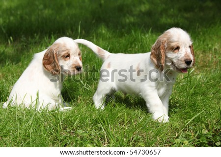 Two English Cocker Spaniel puppies - stock photo