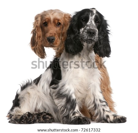 Two English Cocker Spaniels, 2 years old, in front of white background - stock photo