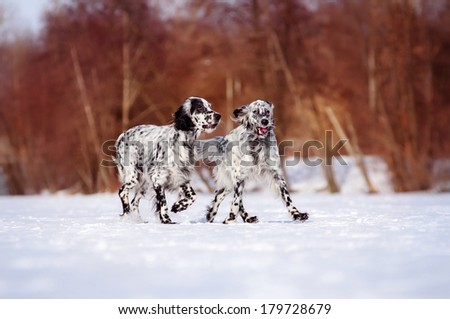 Two English setter on a winter walk - stock photo