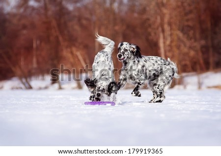 Two English Setter playing on winter walk - stock photo