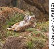 Two eurasian lynxes in love on a wild life park - stock photo