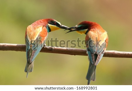 Two european bee-eaters perched on a twig, the male gives an insect on female - stock photo