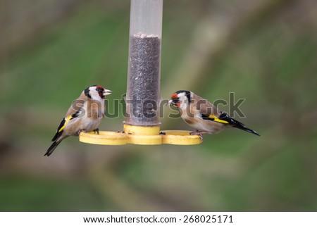 Jilguero americano - Canción de Aspen Comida de aves silvestres