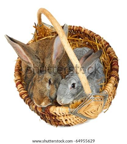 Two European Rabbits in wicker basket on white background - stock photo