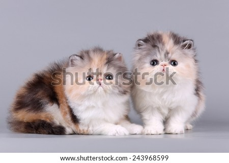 two exotic kitten