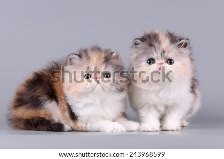 two exotic kitten - stock photo