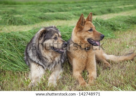Two farm dogs laying in a field of hay - stock photo