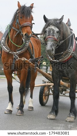 Two farm horses in traditional Slovene harness in carriage - stock photo