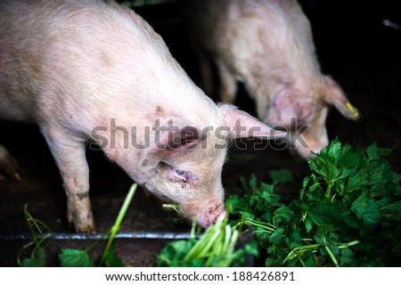two farm piglets eating grass in the countryside - stock photo