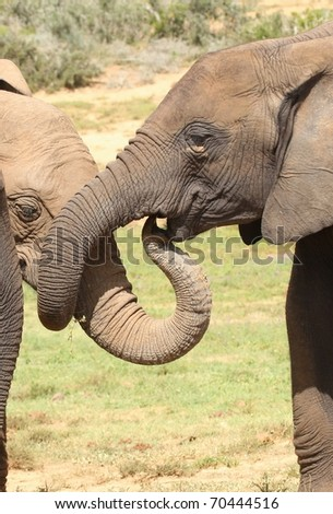 Two female African elephants greeting each other - stock photo