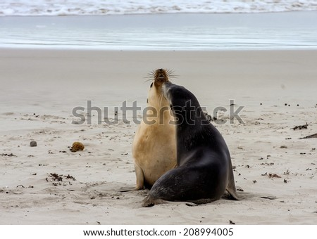 two female Australian Sea Lion on kangaroo island of Australia