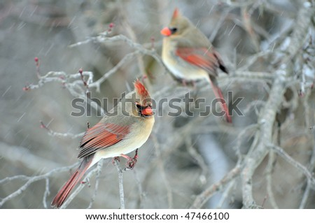 Two female cardinals perched on a tree branch while its snowing.