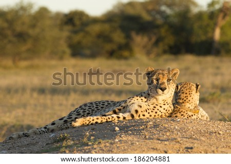 Two female cheetahs lying down South Africa - stock photo