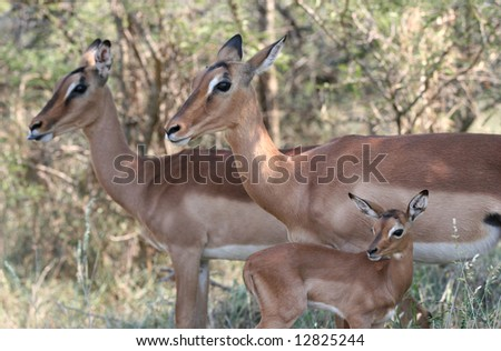 Two female Impalas with young one Aepyceros melampus. Hluhluwe-Umfolozi National Park. Zululand. South Africa. - stock photo