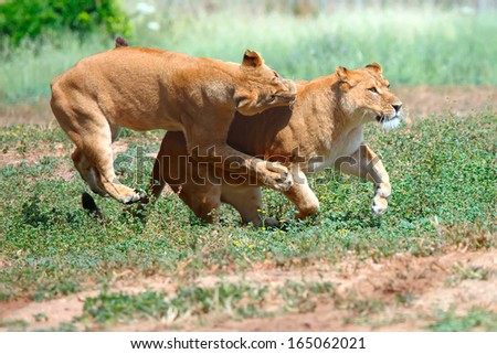Two female lions chasing each other in the grass - stock photo