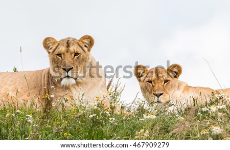 Two female lions resting in the fresh grasss