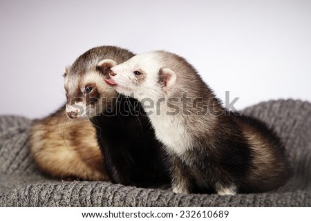 Two ferrets - stock photo