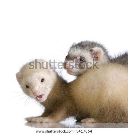 two Ferrets kits (10 weeks) in front of a white background