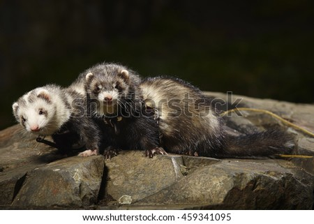 Two ferrets on walk in park posing on stone