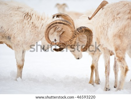 Two fighting male Dall Sheep (Ovis Dalli) ram horns in a display of power. - stock photo