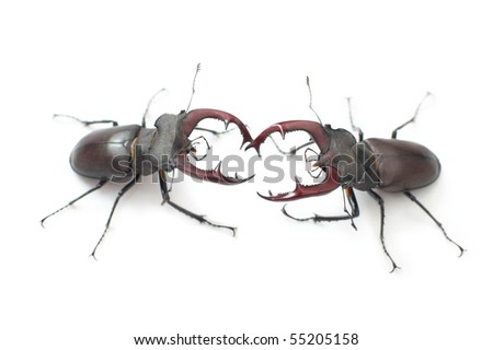 Two fighting stag beetle (Lucanus cervus) on white - stock photo