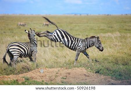 Two fighting zebras in Serengeti national park, Tanzania - stock photo