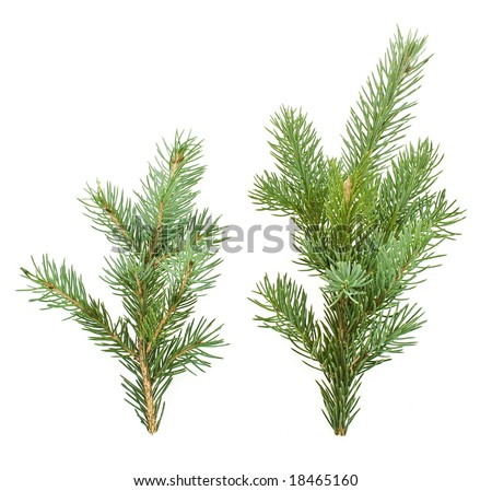 two fir tree branches isolated on white - stock photo