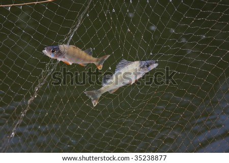 Two fishes in fishing net - stock photo